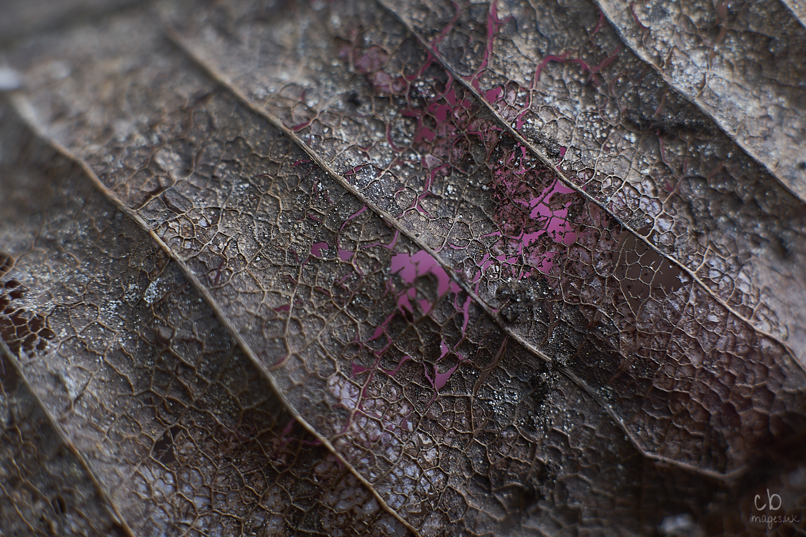 Skeleton of a dead leaf with pink showing through from underneath