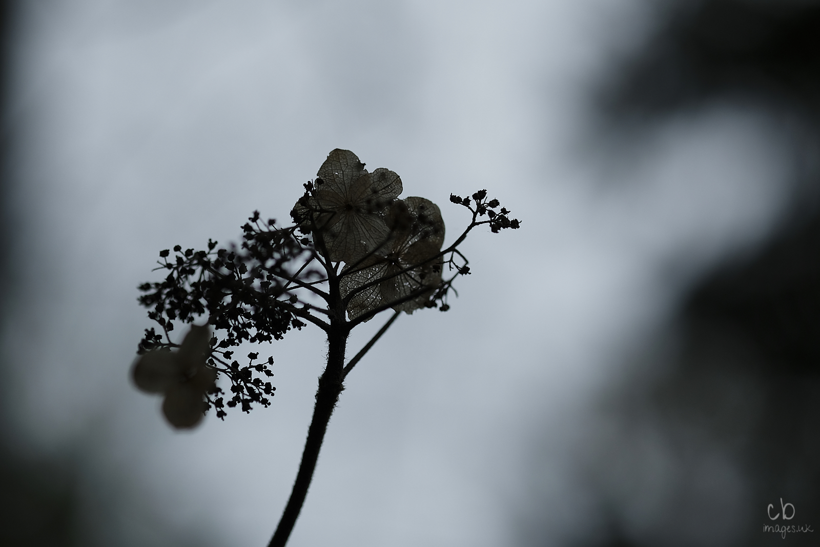 Dead flower in silhouette