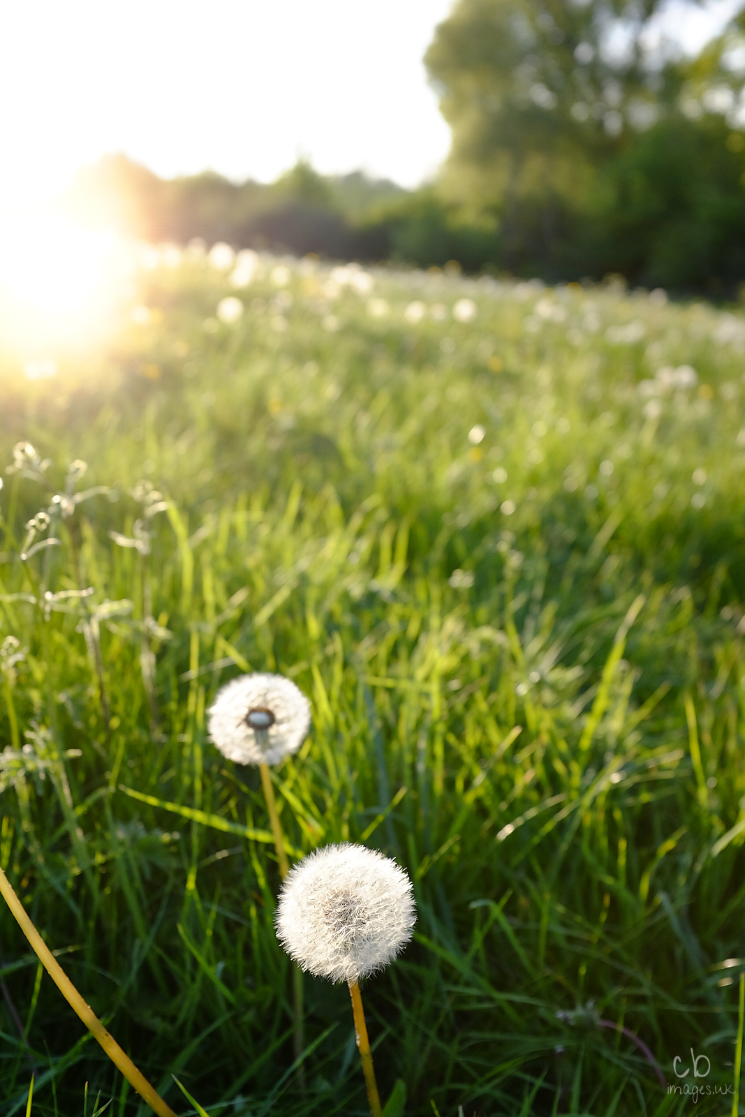 Dandelion clocks with sun setting