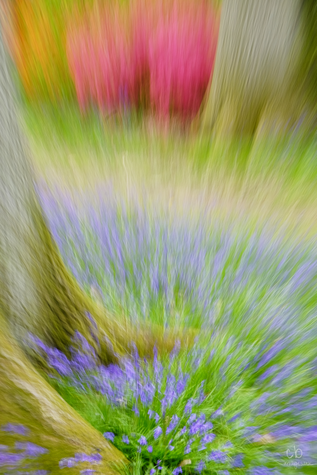 Blurred bluebells and pink azaleas at Westonbirt