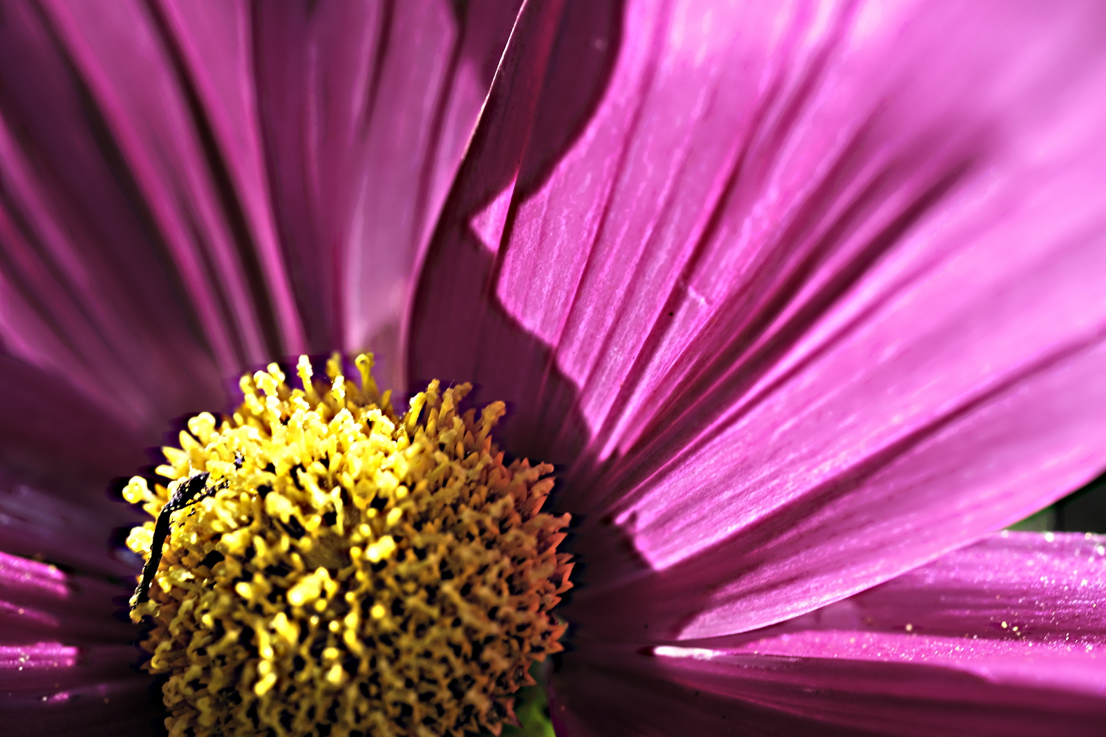 Purple flower, osteospermum