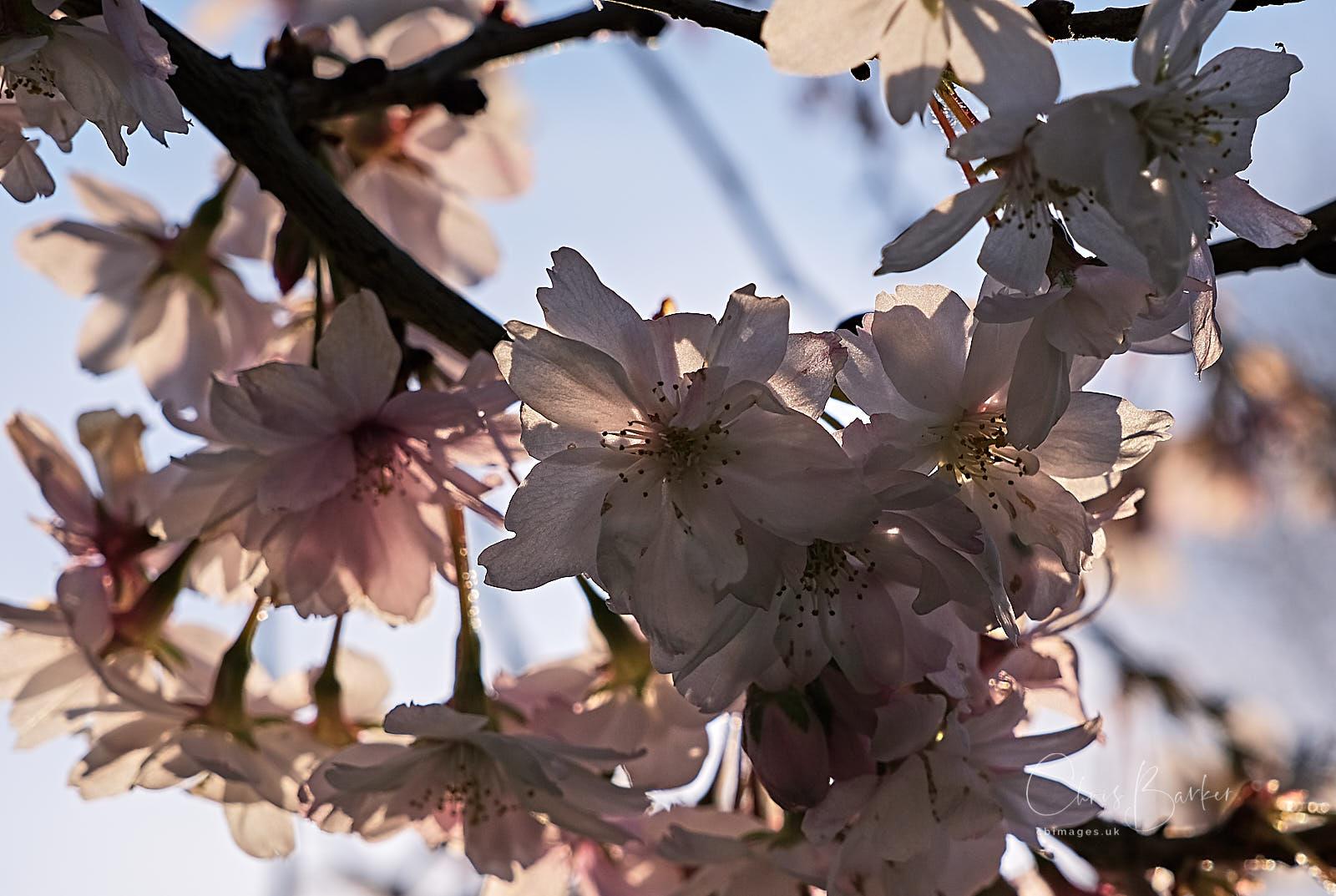 Cherry blossom against pale blue sky