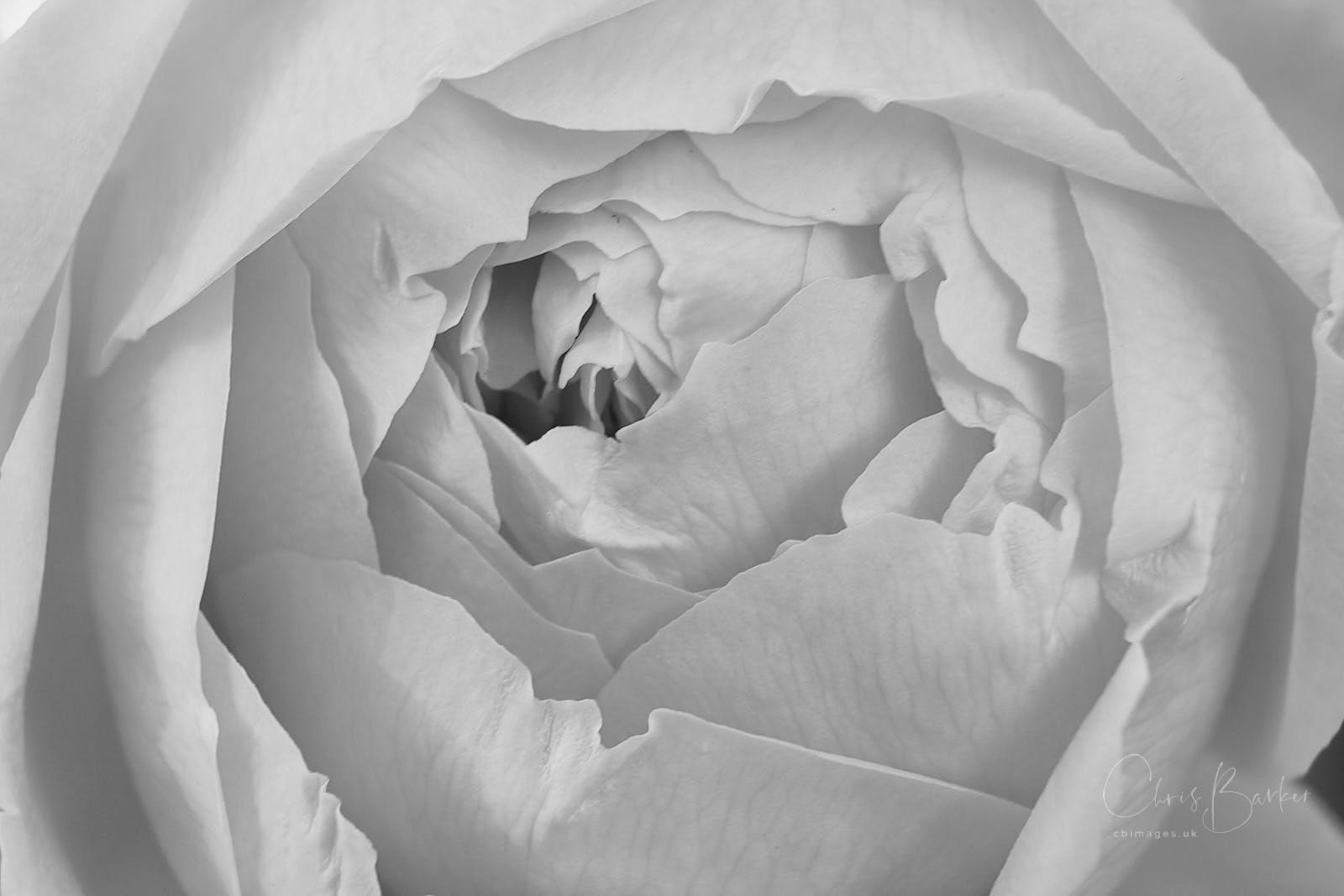 Monochrome closeup of rose petals