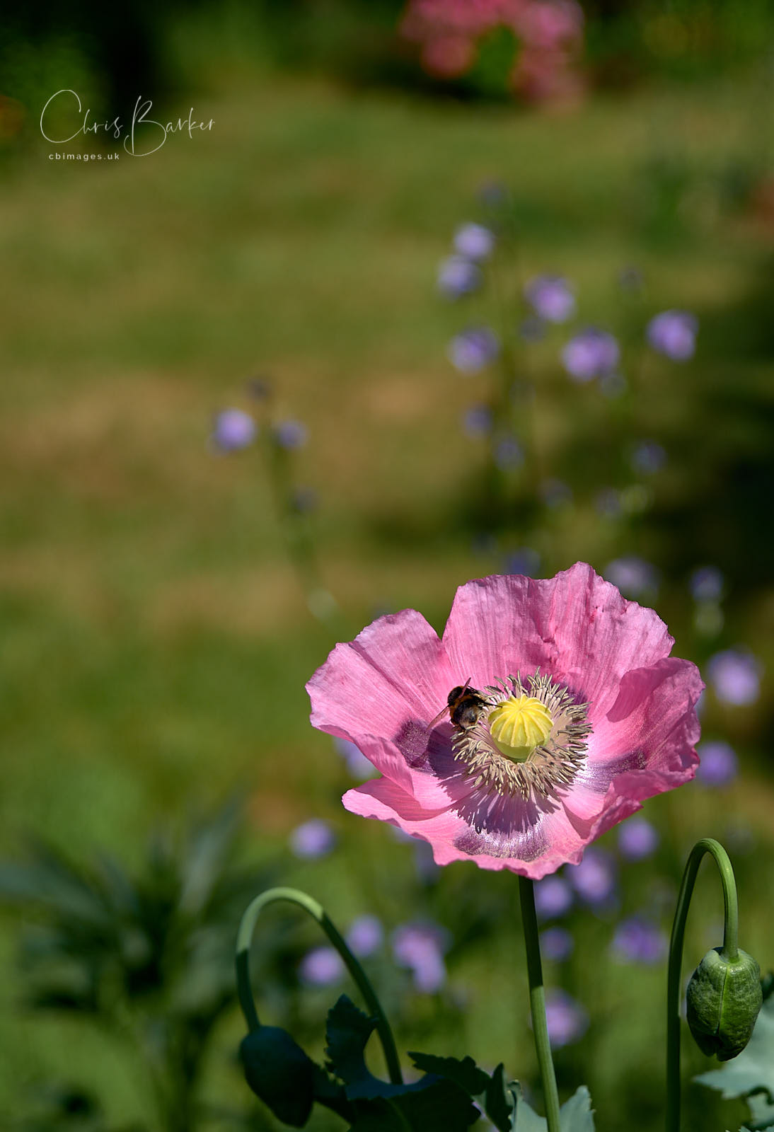 Bee in pink poppy