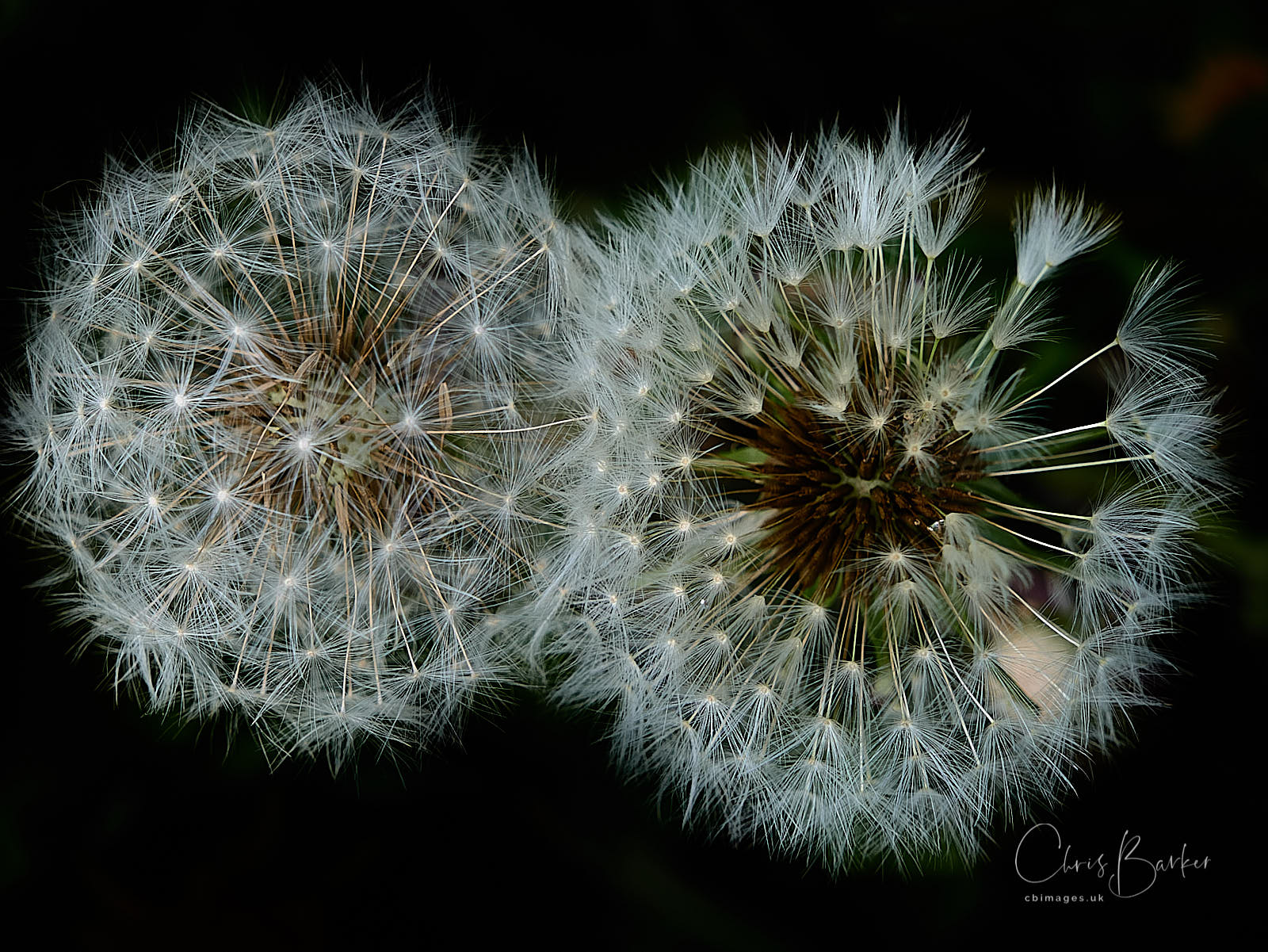 The seed heads of two dandelion flowers