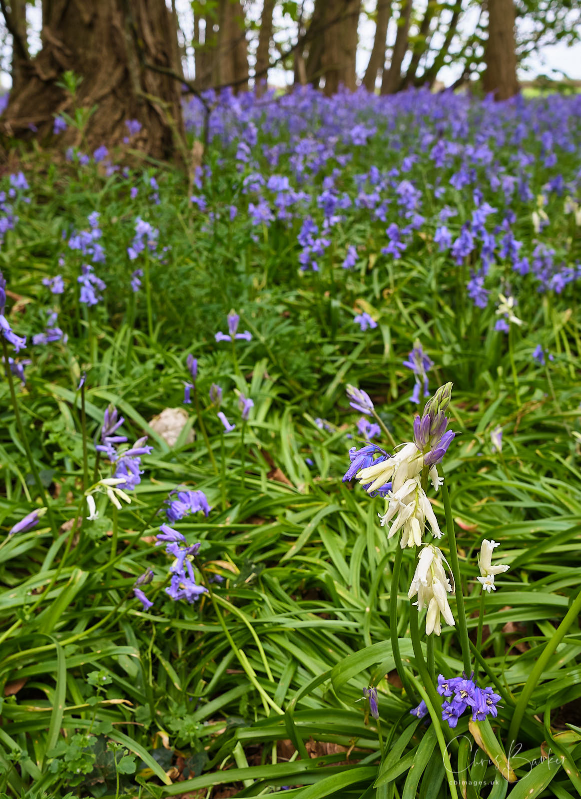 Close-up photo of bluebells