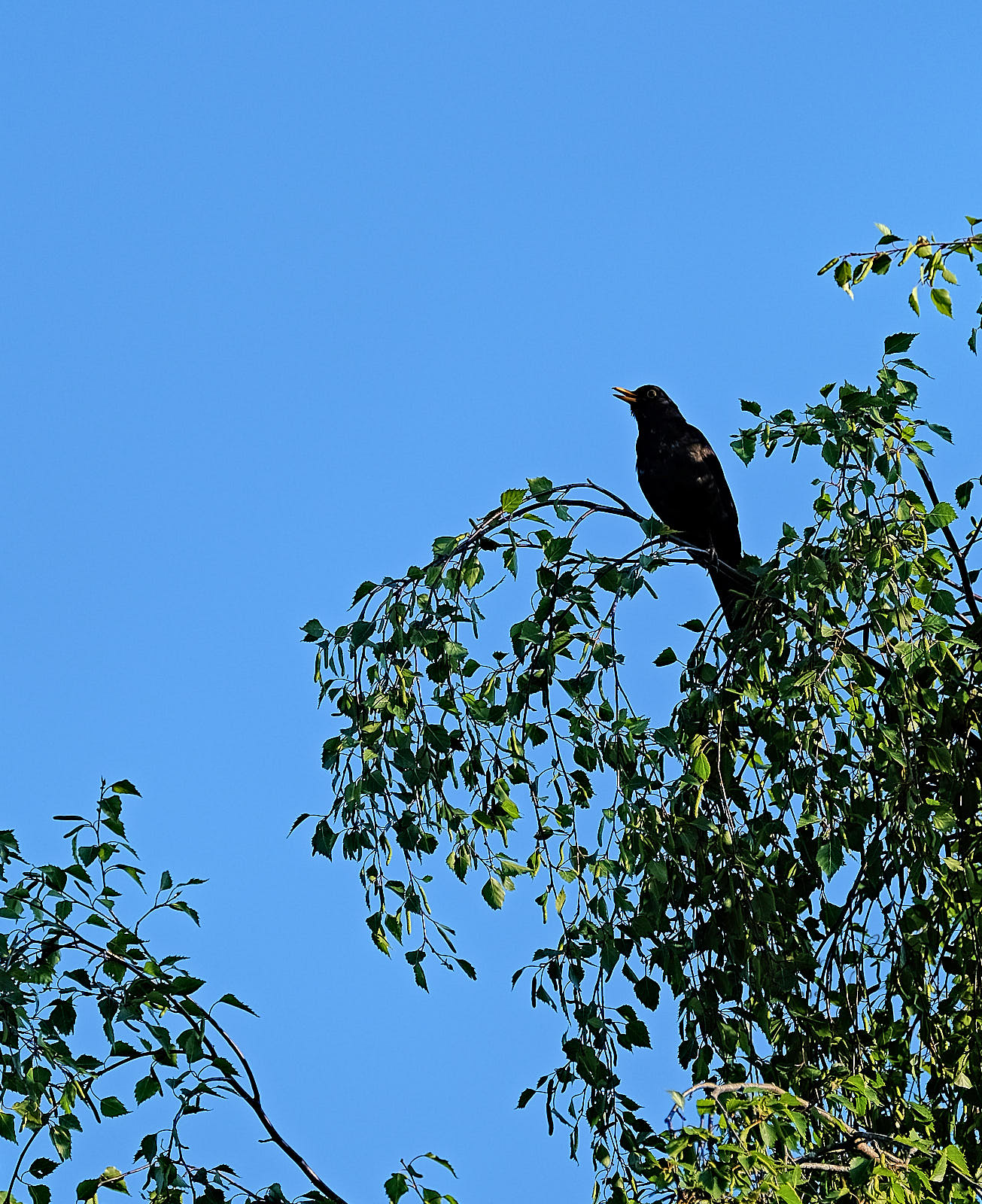 A Blackbird on a tree