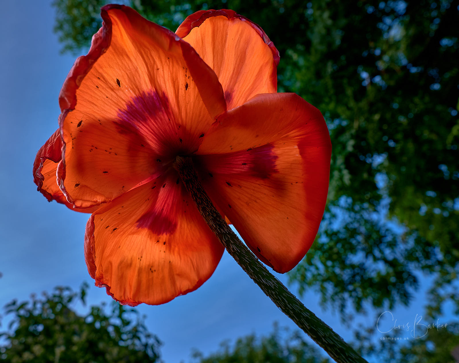 A view upwards of a giant poppy