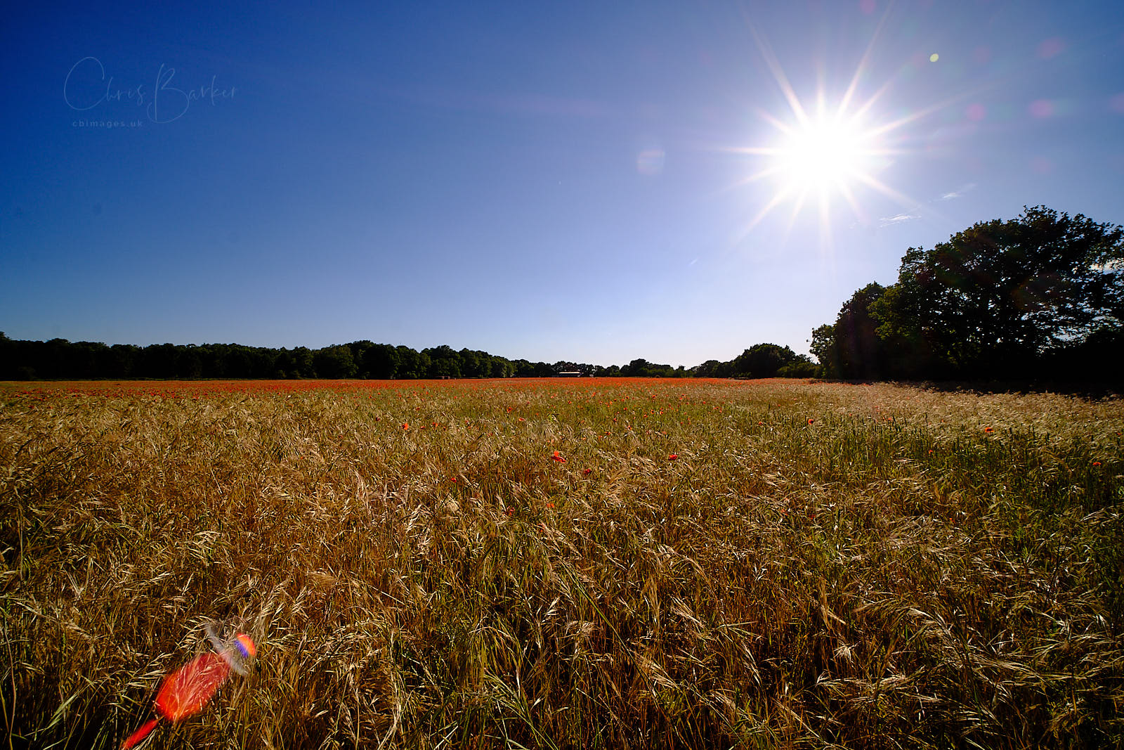A wide angle photo of a cornfield covered in red poppies, with the sun.